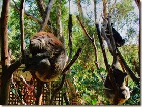 02_1 koalas_ HDR