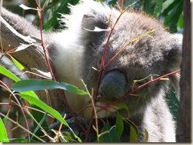 08_1 koala_1