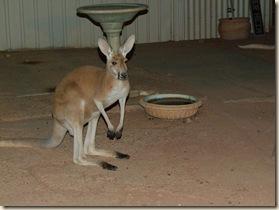 c 14_1 kangoroos