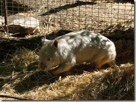 c 15_1 albino wombat (1)