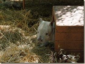 c 15_1 albino wombat