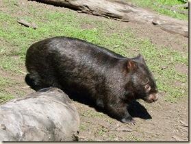 c 36 wombat_1 (1)